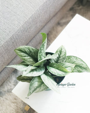 Load image into Gallery viewer, Pothos Exotica