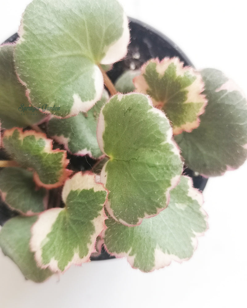 Strawberry Begonia Variegated