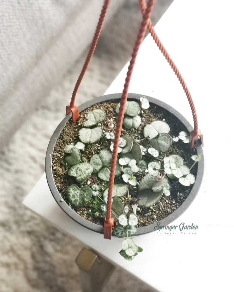 String of Hearts Silver Glory