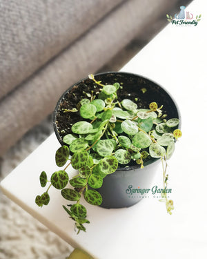 The String of Turtles – Peperomia prostrata is a slow-growing perennial succulent belonging to the family piperaceae. Native to the rainforests of Brazil, 'prostrata' has several names: 'Magic marmer' – a select variety of Prostrata