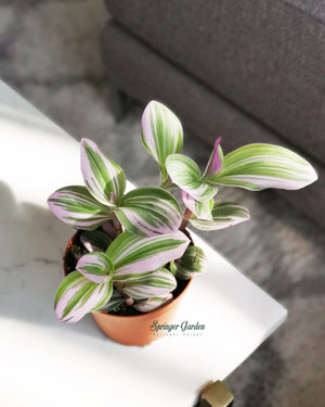 Load image into Gallery viewer, Tradescantia Nanouk