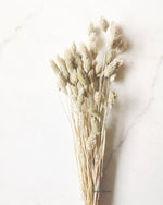 White Phalaris