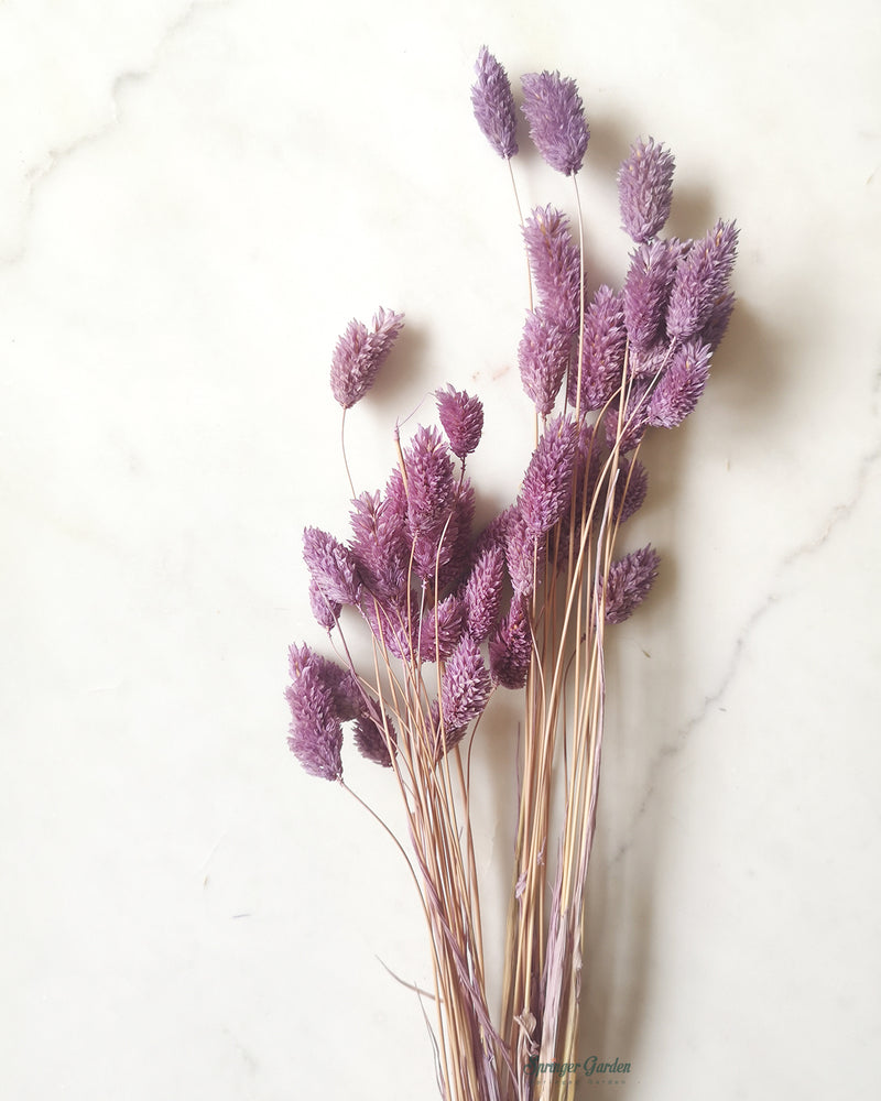 Soft Mauve Phalaris