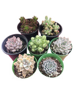 Assorted Echeveria Bundle (3''~3.5'')