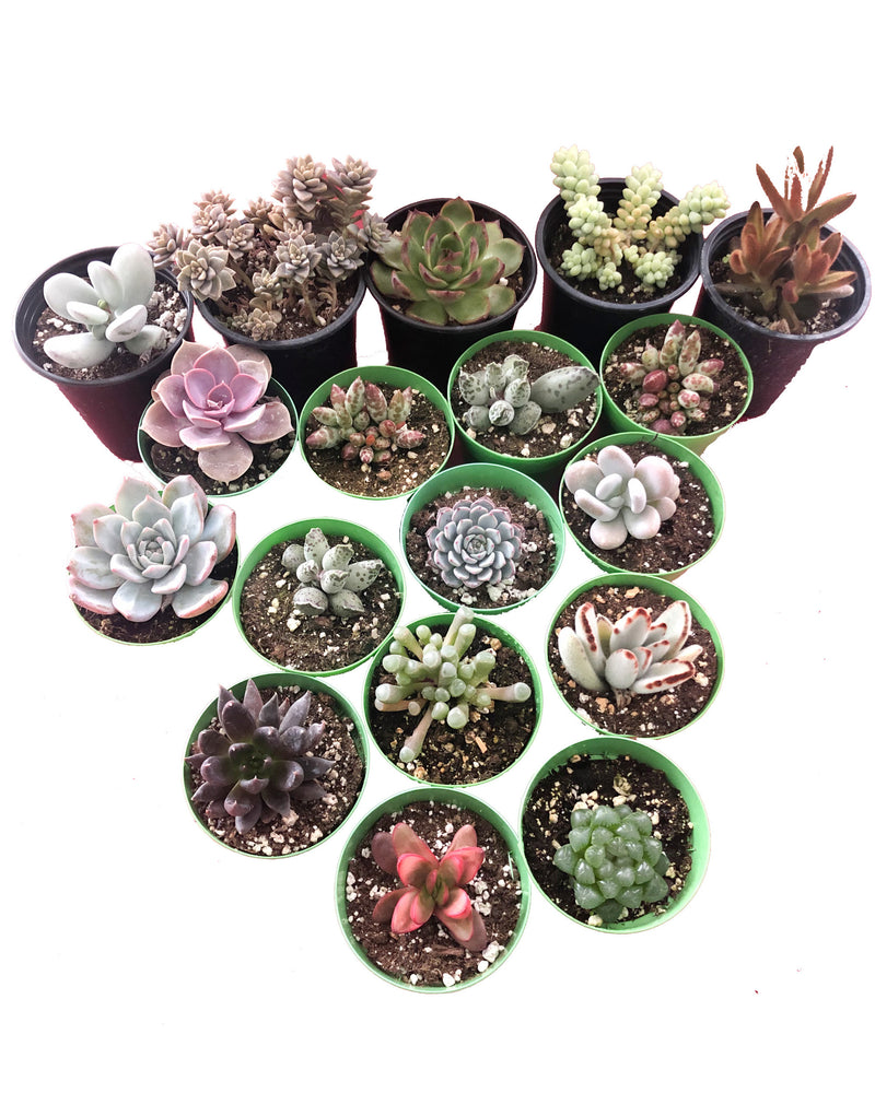 "Rare Assorted Succulents Mix Bundle (3""+)"