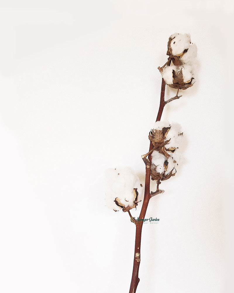 Cotton / Stem