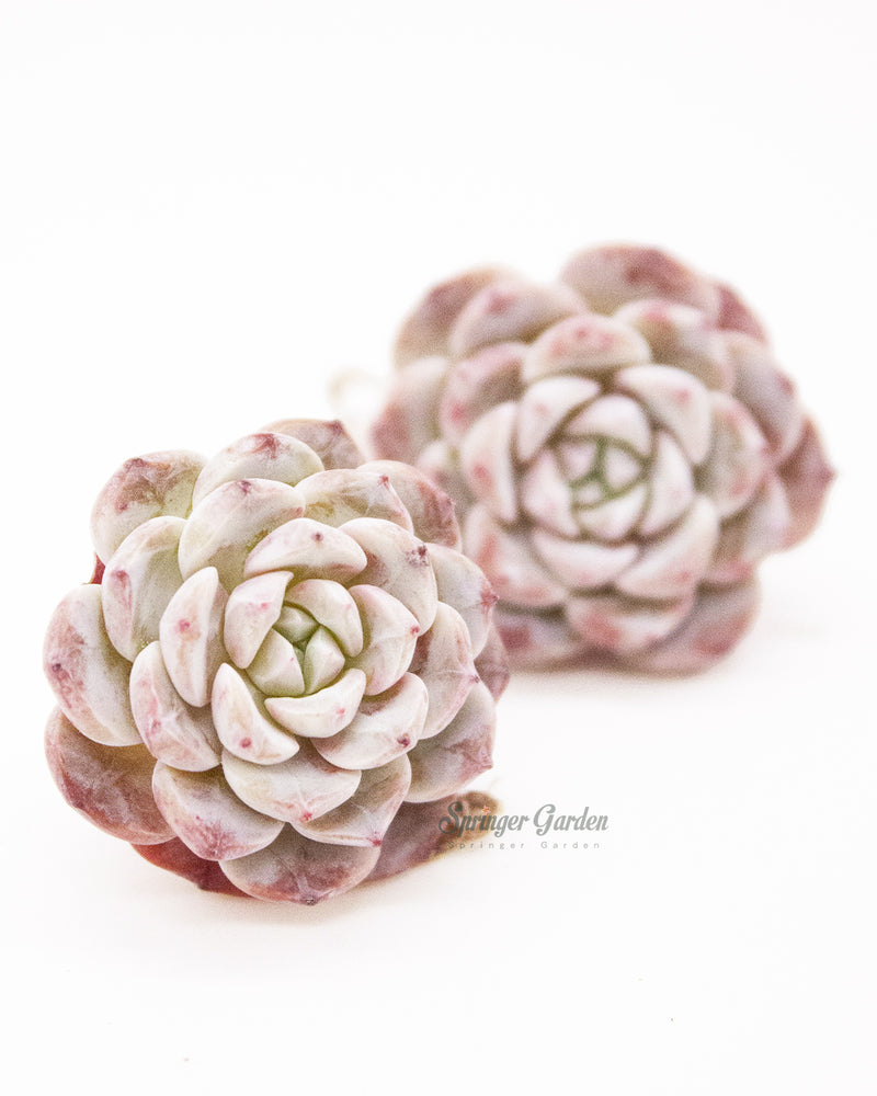 Load image into Gallery viewer, Echeveria Lapine