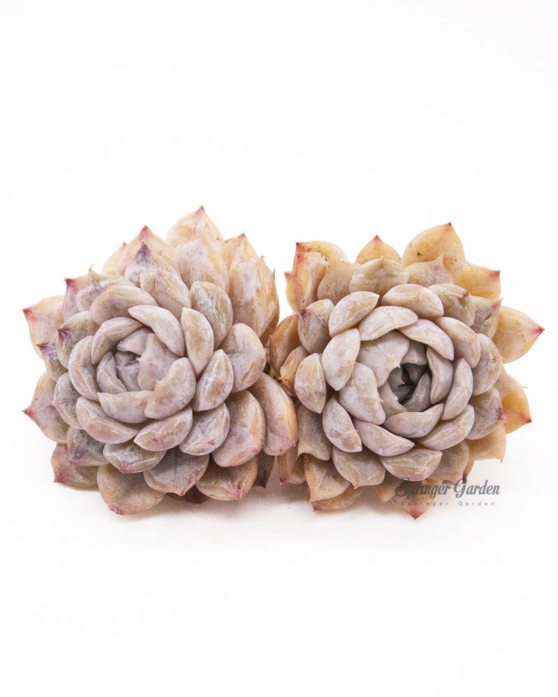 Echeveria Mary Bell - Cluster