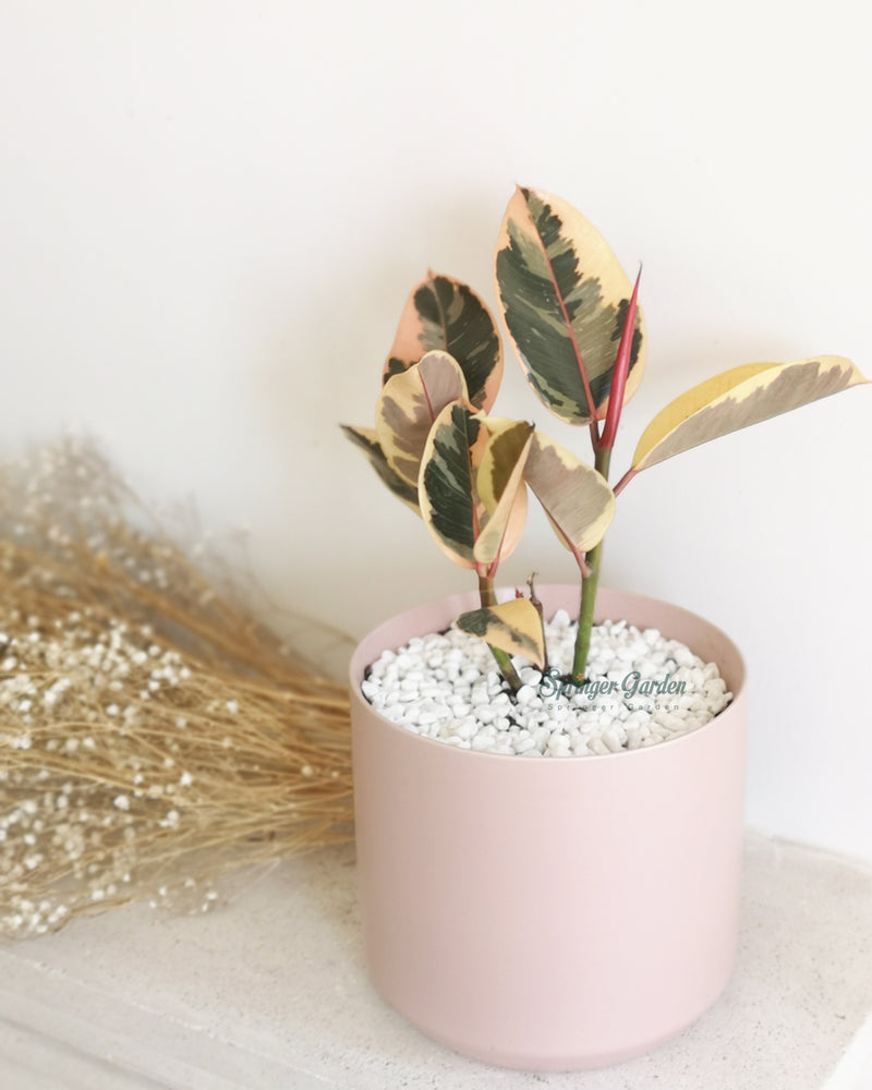 Rubber Tineke Plant with Pink Minimalism Style Pot