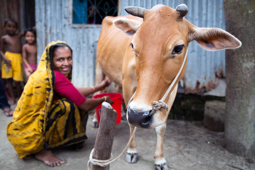 A woman milks her dairy cow to provide nutrition and income for her family.