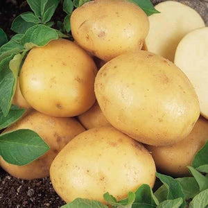 Seed Potato 'Maris Peer' (Autumn Cropping) - 1kg