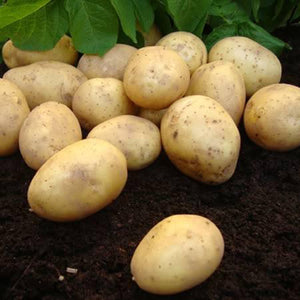 Seed Potato 'Nicola' (Autumn Cropping) - 1kg