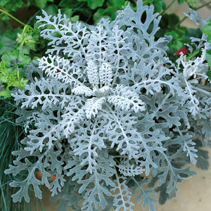 Cineraria 'Silver Dust' - 12 Plants - Garden-ready to plant