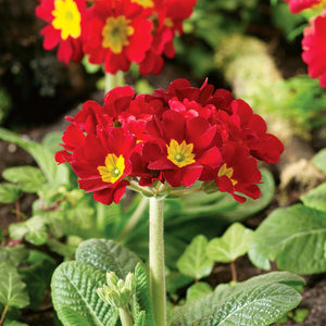 Polyanthus Crescendo 'Red' - 12 Plants - Garden-ready to plant