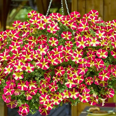 """** Petunia Queen of Hearts /""""Yellow//Red Easy Hanging Fragrant **"""