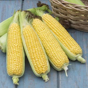 Sweetcorn Tyson F1 Hybrid Seeds