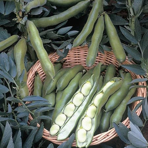 Broad Bean Seeds - The Sutton