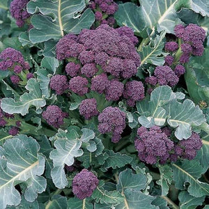 Broccoli Seeds - Early Purple Sprouting Blend