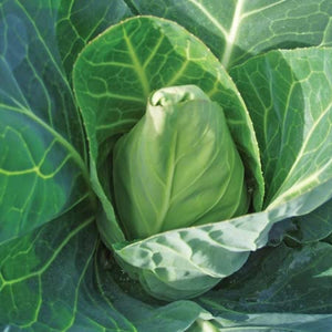 Cabbage Seeds - Duncan F1 Hybrid