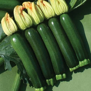 Courgette Tuscany (May despatch)  - Plants