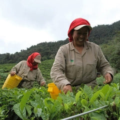 Gachi Grower Partner Colombia