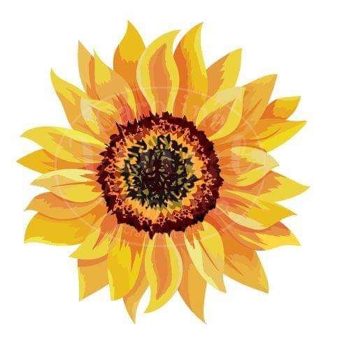 Sunflower Heat Transfer