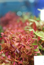 Load image into Gallery viewer, Rotala Macaranda Mini