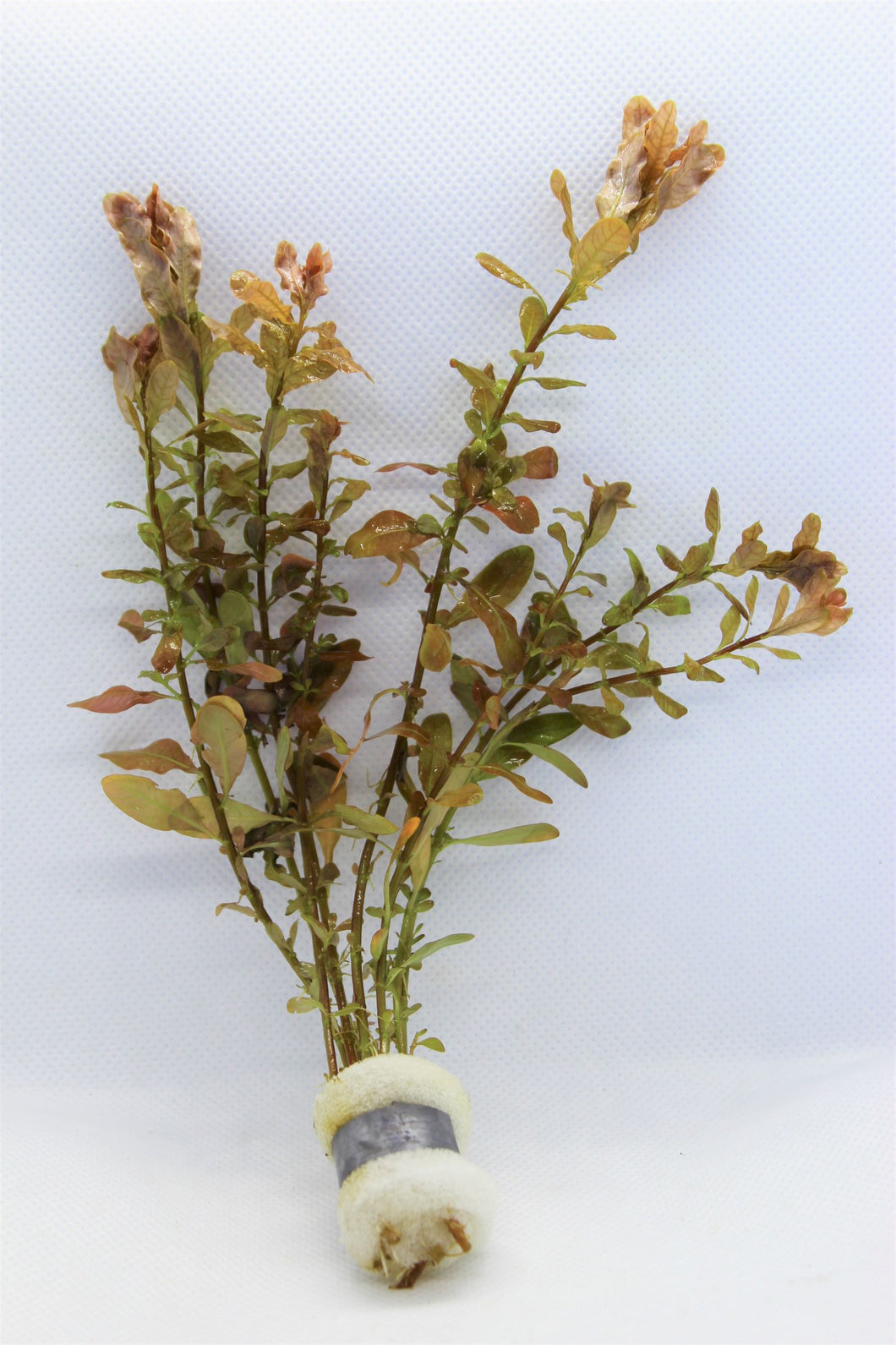 Ludwigia Inclinata