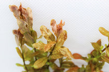 Load image into Gallery viewer, Ludwigia Inclinata