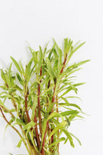 Load image into Gallery viewer, Ludwigia Inclinata (White/Pink)