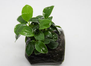 Anubias Nana on Wood