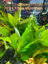 Load image into Gallery viewer, Hygrophila Compact (Nomaphila Siamensis)