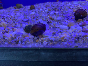 Red Onion Nerite Snail