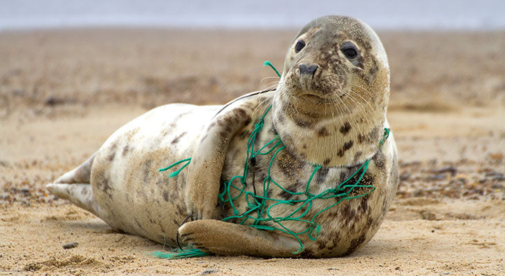 A Grey Seal caught in a fishing net. Horsey Beach, England. Photo by Kev Gregory