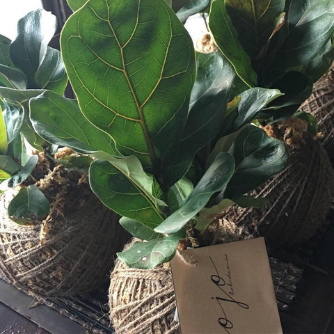 Botanic Box Kojo Kokedama Fiddle Leaf Fig