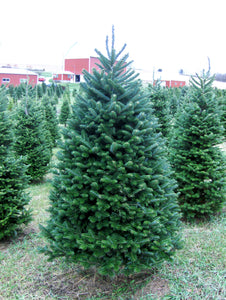 Real Christmas Trees Delivered 6 Foot Premium Balsam Fir Christmas Tree
