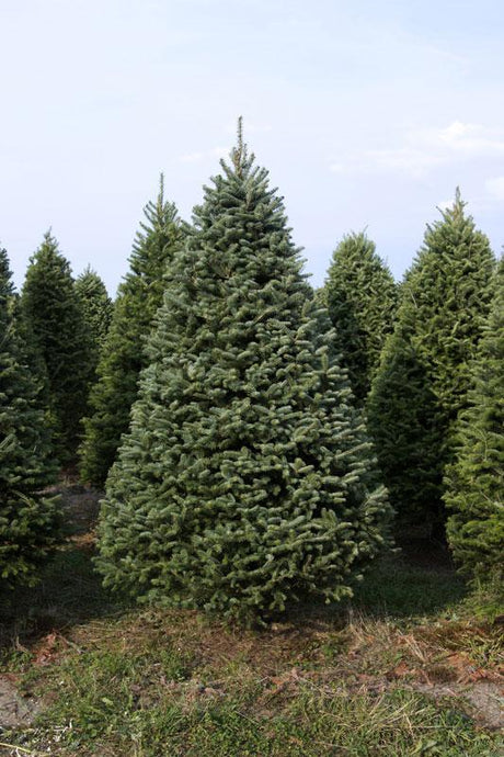 Real Christmas Trees Delivered 7 Foot Balsam-Fraser Fir Hybrid