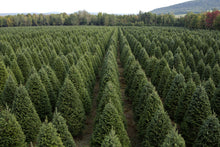 Load image into Gallery viewer, Real Christmas Trees Delivered 7 Foot Premium Balsam Fir Christmas Tree