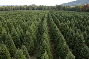 Real Christmas Trees Delivered 7 Foot Premium Balsam Fir Christmas Tree