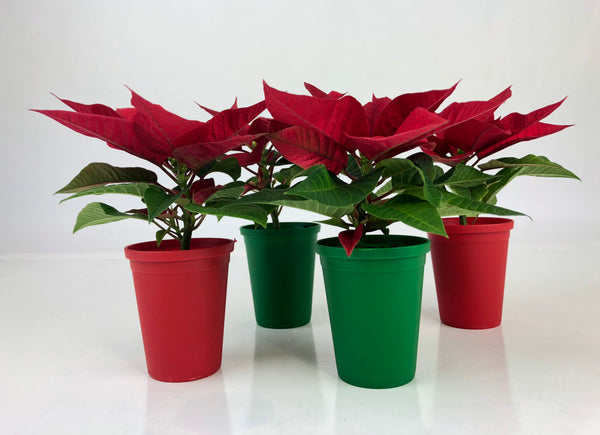 "2"" Mini Poinsettia Gift Set (4 Plants) with Red/Green EcoPlastic Pots - FREE SHIPPING"