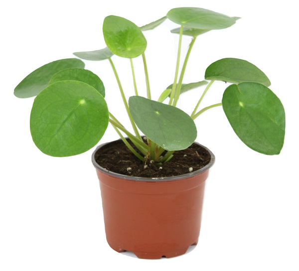 "Pilea peperomioides (4"" Pot) (Chinese money plant / Pancake plant / UFO plant) - FREE SHIPPING"