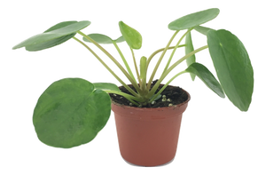 "Pilea peperomioides (2"" Pot) (Chinese money plant / Pancake plant / UFO plant) - FREE SHIPPING"