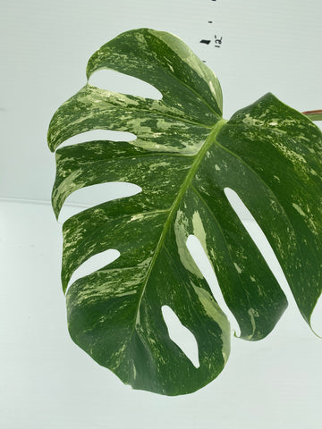 Variegated Monstera Cutting (High Variegation)