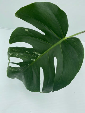 Variegated Monstera Cutting (Low Variegation)