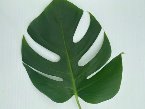 Variegated Monstera Cutting (No Variegation) (2 Cuttings)