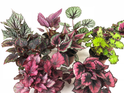 "Rex Begonia Variety Pack (4 Plants) (4"" Pots) ""Growers-Choice"""