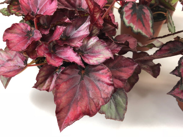 "Rex Begonia Variety Pack (4 Plants) (4"" Pots) ""Growers-Choice"" - FREE SHIPPING"