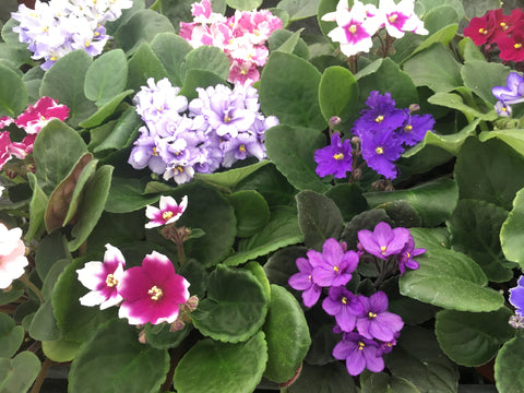 "Optimara African Violet Variety Pack (4 Assorted Plants) (4"" Pots) - FREE SHIPPING"