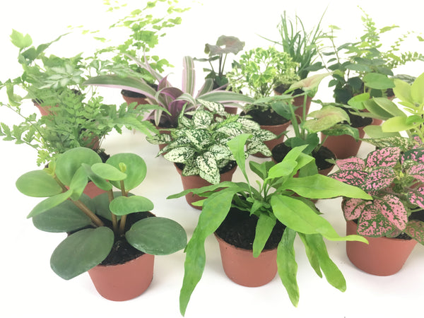 "Mini Terrarium Plants (2 Plants) (Assorted Varieties) (2"" Pots) - FREE SHIPPING"
