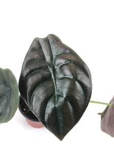 "Alocasia cuprea 'Red Secret' (4"" Pot) - FREE SHIPPING"